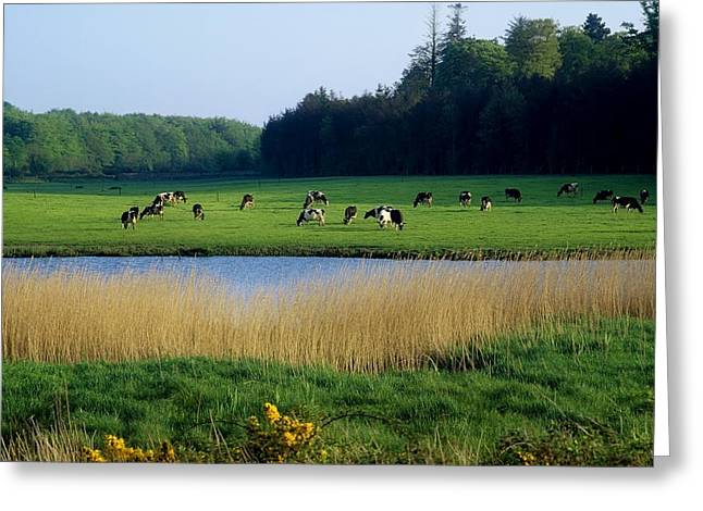 Dairy Farming Greeting Cards - Friesian Cattle, Near Cobh, Co Cork Greeting Card by The Irish Image Collection