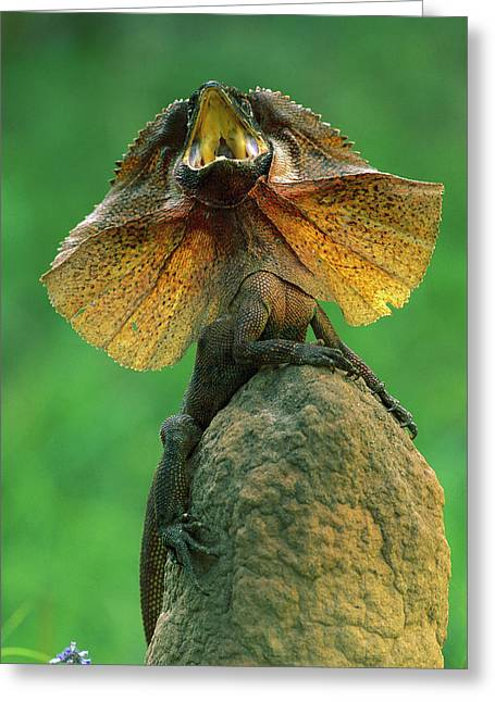 Ai Greeting Cards - Frilled Lizard Chlamydosaurus Kingii Greeting Card by Jean-Paul Ferrero