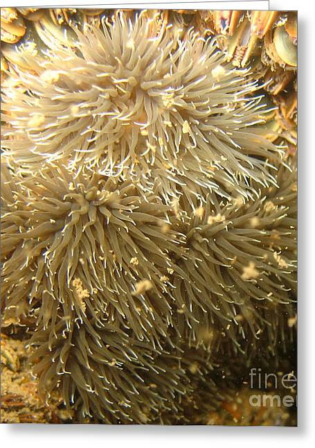 Sea Anemone Greeting Cards - Frilled Sea Anemone Greeting Card by Paul Ward