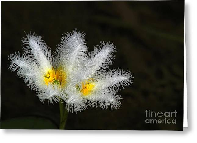 Water Garden Greeting Cards - Frilly White Water Lily Greeting Card by Sabrina L Ryan
