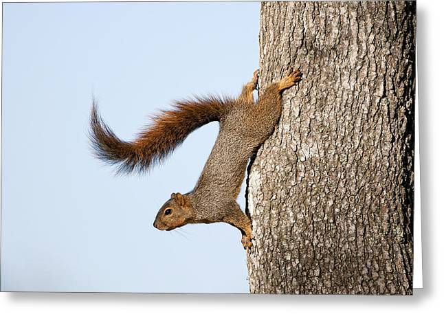 Fox Squirrel Greeting Cards - Frisky Little Squirrel with a Twirly Tail Greeting Card by Bonnie Barry