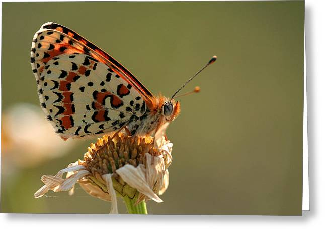 Natuur Greeting Cards - Fritillary Greeting Card by Marc Bulte