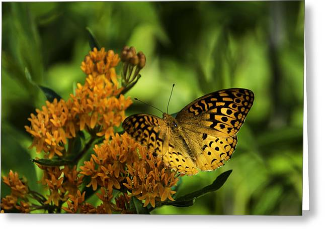 Vermont Photographs Greeting Cards - Fritillary Wonder Greeting Card by Rob Travis