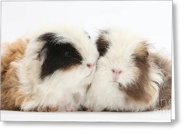 Cavy Greeting Cards - Frizzy Alpaca Guinea Pigs Greeting Card by Mark Taylor