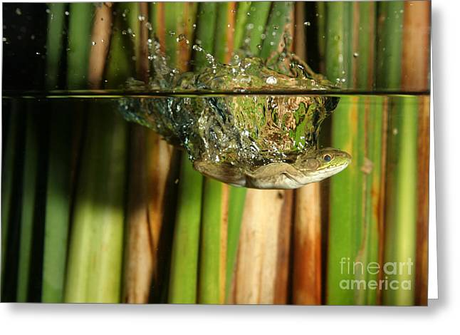 Anuran Greeting Cards - Frog Jumps Into Water Greeting Card by Ted Kinsman