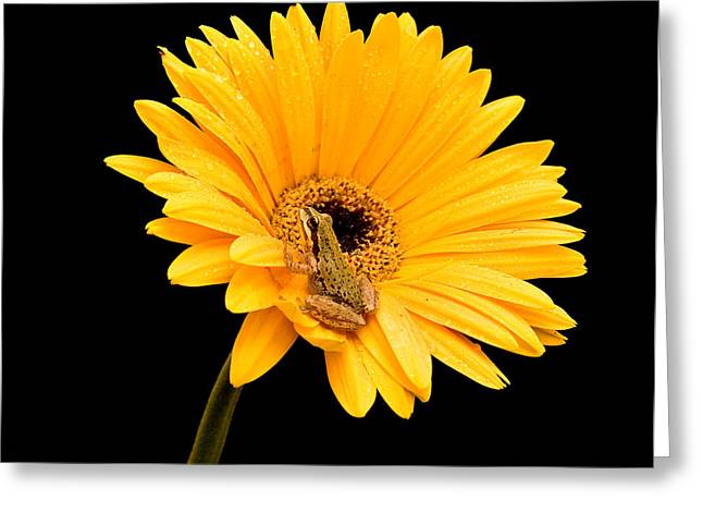 Jean Noren Greeting Cards - Frog on Gerbera Greeting Card by Jean Noren