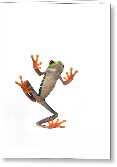 Frogs Belly Greeting Card by Corey Hochachka