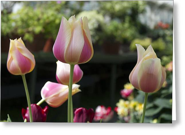 Flower Display Greeting Cards - Front And Center Greeting Card by Peter Chilelli