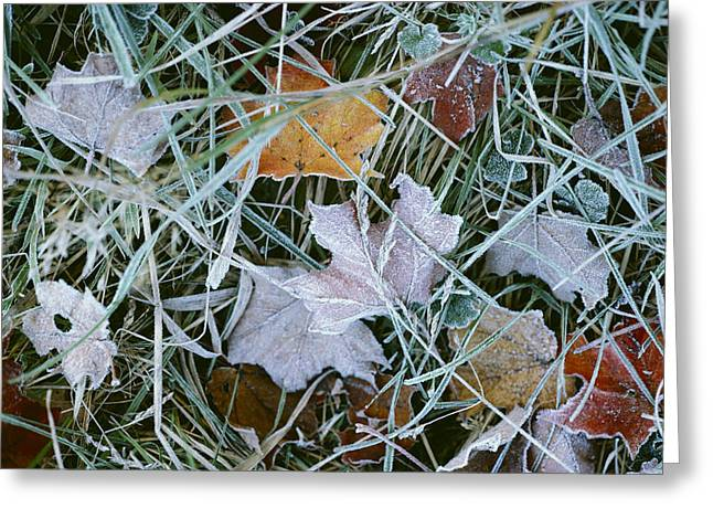 Plant Color Changes Greeting Cards - Frost Covered Autumn Leaves Greeting Card by Todd Gipstein