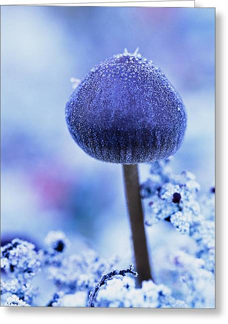 Purple Mushrooms Greeting Cards - Frost Covered Mushroom, North Canol Greeting Card by Robert Postma