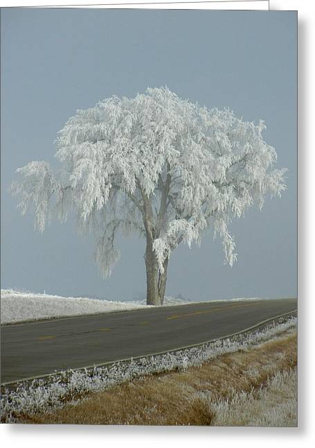 Frost On The Big Tree  Greeting Card by Penny Meyers