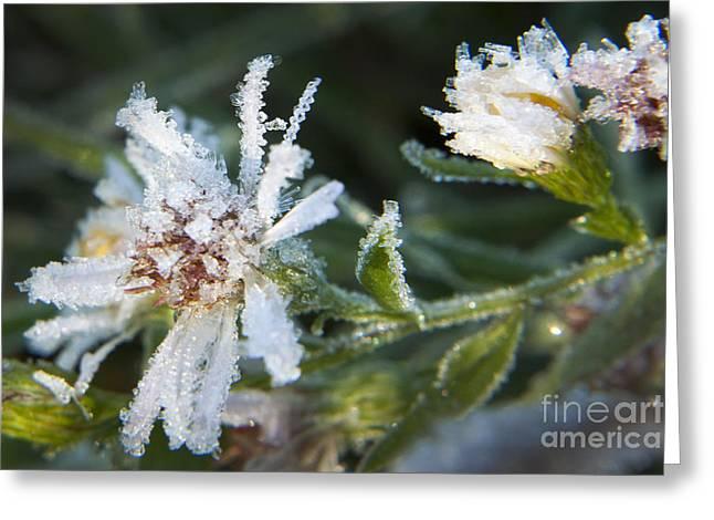 Environemtn Greeting Cards - Frostbite flower Greeting Card by Darleen Stry