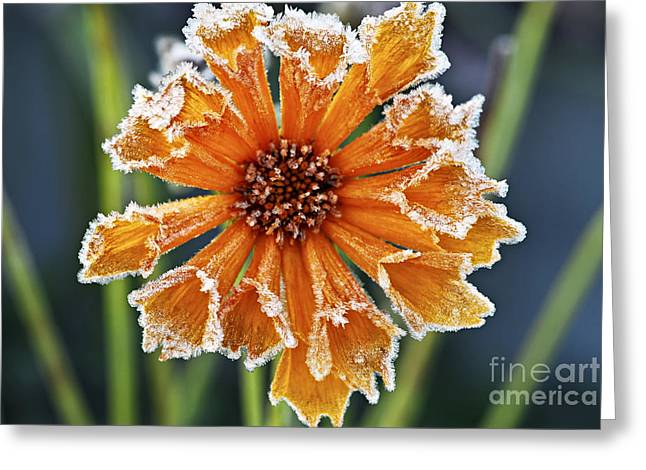 Flowering Greeting Cards - Frosty flower Greeting Card by Elena Elisseeva