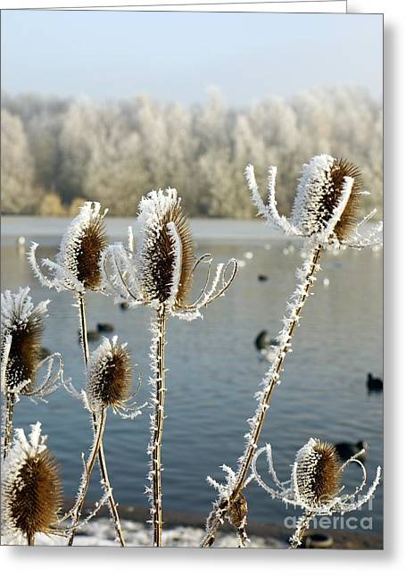 Frosty Teasel Greeting Card by John Chatterley