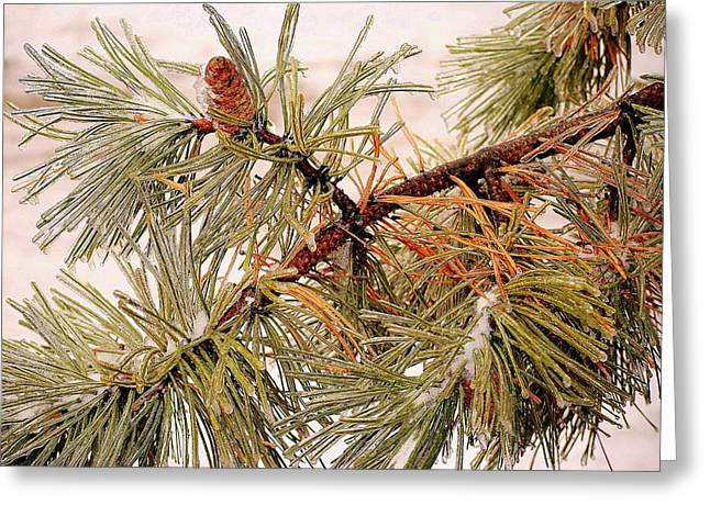 Pine Needles Greeting Cards - Frozen Pine Greeting Card by Frozen in Time Fine Art Photography
