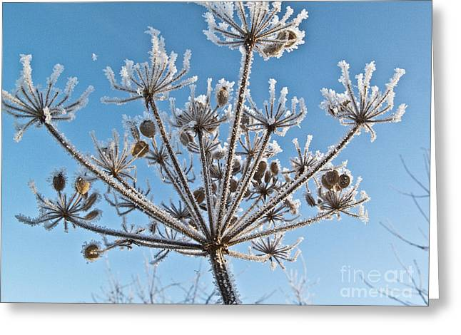Daucus Greeting Cards - Frozen Plant Greeting Card by Heiko Koehrer-Wagner