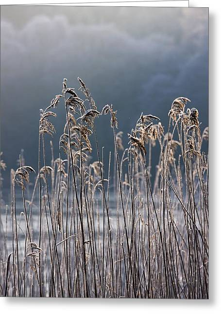 Cold Photographs Greeting Cards - Frozen Reeds At The Shore Of A Lake Greeting Card by John Short
