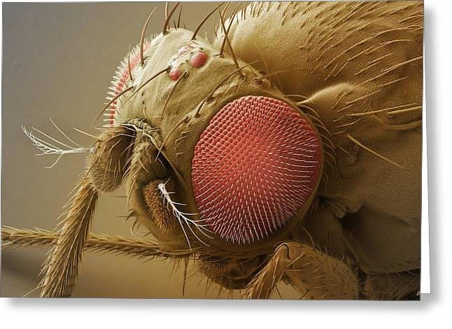 Sem Greeting Cards - Fruit Fly Head, Sem Greeting Card by Power And Syred