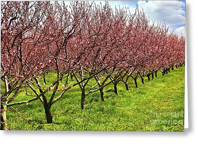 Flowering Greeting Cards - Fruit orchard Greeting Card by Elena Elisseeva