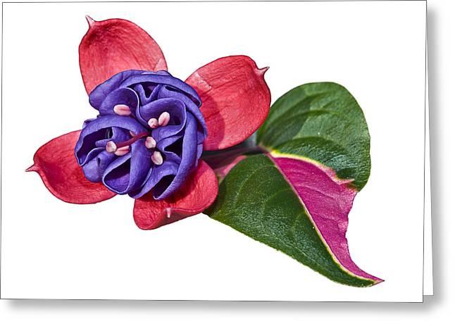 Susan Leggett Greeting Cards - Fuchsia Blue Eyes on White Greeting Card by Susan Leggett