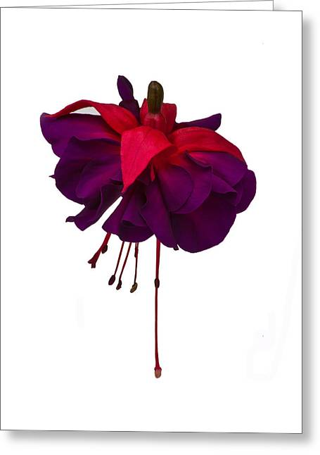 Fushia Photographs Greeting Cards - Fuchsia on White Greeting Card by Dawn OConnor