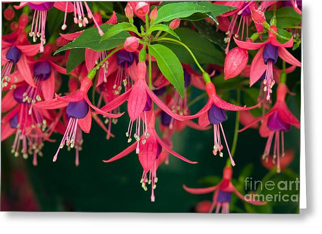 Fuchsia Windchime Flowers Greeting Card by Alan and Linda Detrick and Photo Researchers