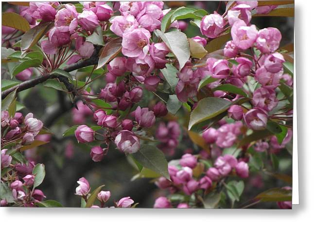 Bloosom Greeting Cards - Full Blossom Greeting Card by Erika Betts