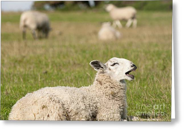 Chatty Greeting Cards - Funny Sheep Greeting Card by Andrew  Michael