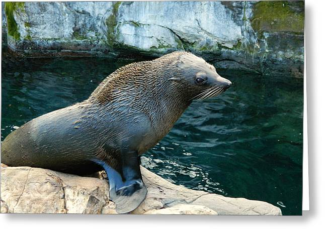 Sea Lions Greeting Cards - Fur seal Greeting Card by Sharon Lisa Clarke