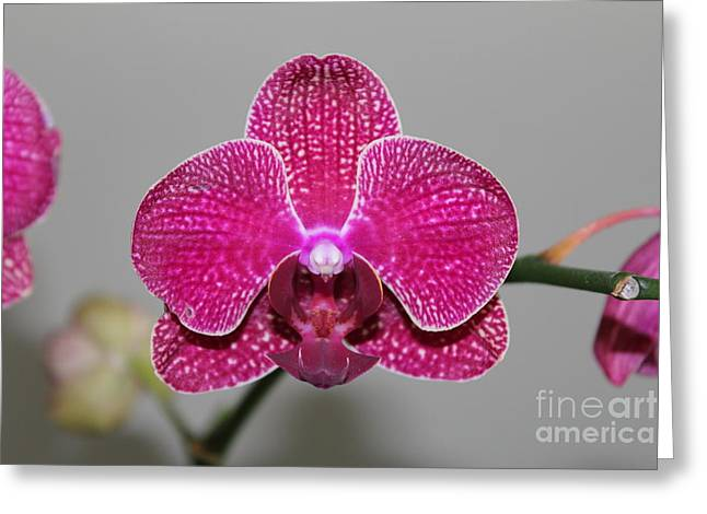 Setting Framed Prints Greeting Cards - Fuscia Orchid Greeting Card by Scenesational Photos