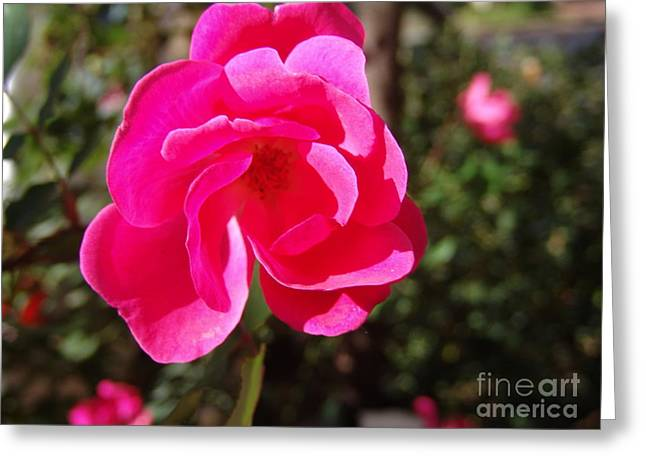 Fushia Greeting Cards - Fushia Knockout Rose 2 Greeting Card by Rod Ismay