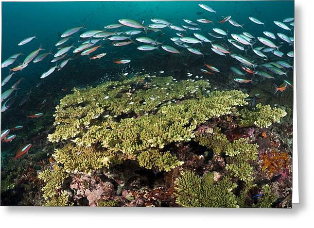 Fusilier Fish Greeting Cards - Fusiliers Over A Reef Greeting Card by Matthew Oldfield