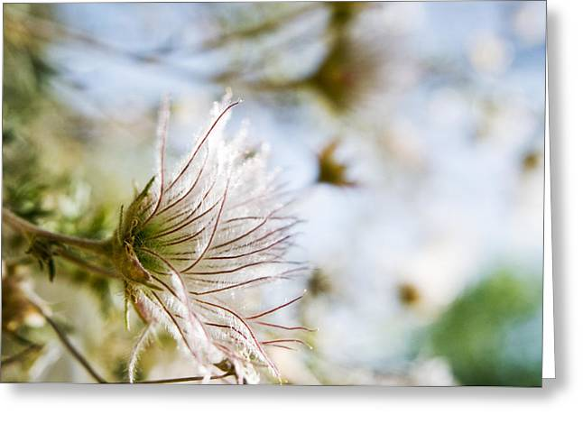 From Seed Greeting Cards - Fuzzy Flower Flare Greeting Card by Ray Laskowitz - Printscapes