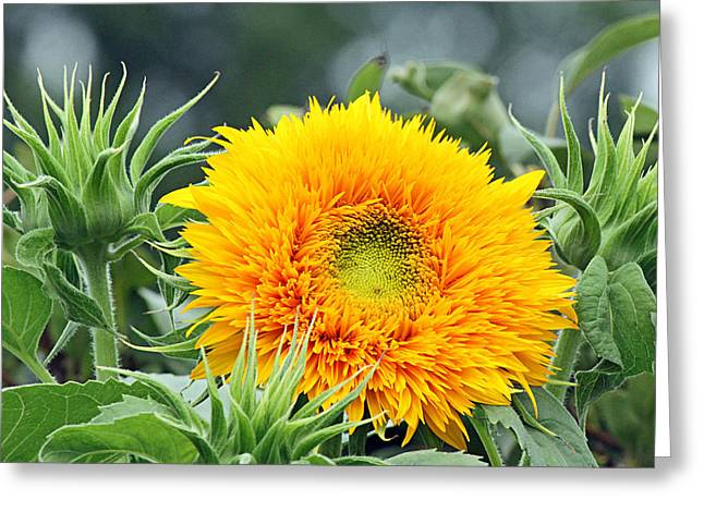 Becky Greeting Cards - Fuzzy sunflower Greeting Card by Becky Lodes