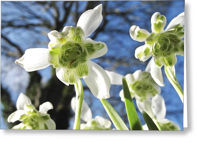 Snow Drops Greeting Cards - Galanthus Nivalis flore Pleno Greeting Card by Cordelia Molloy