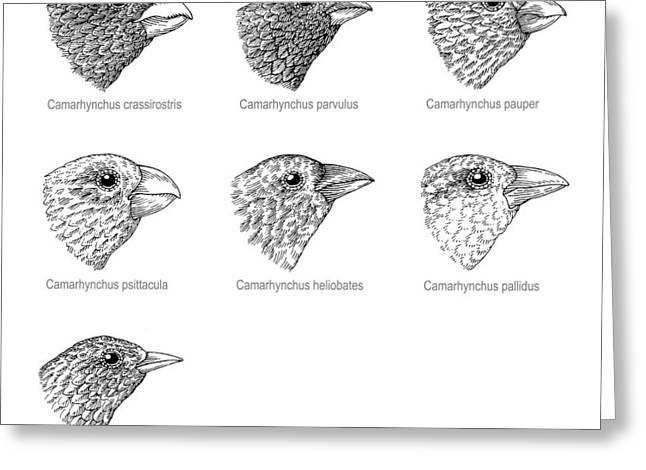Galapagos Finches, Artwork Greeting Card by Gary Hincks