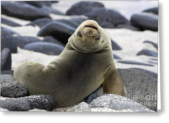 Mammalia Greeting Cards - Galapagos Sea Lion Greeting Card by David Hosking and Photo Researchers