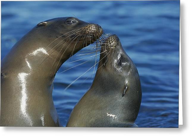 Sea Lions Greeting Cards - Galapagos Sea Lion Zalophus Wollebaeki Greeting Card by Tui De Roy