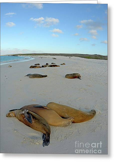 Galapagos Sea Lions Sleeping On Beach Greeting Card by Sami Sarkis