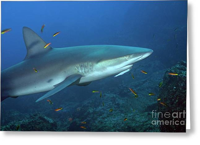 Galapagos Shark Greeting Card by Sami Sarkis