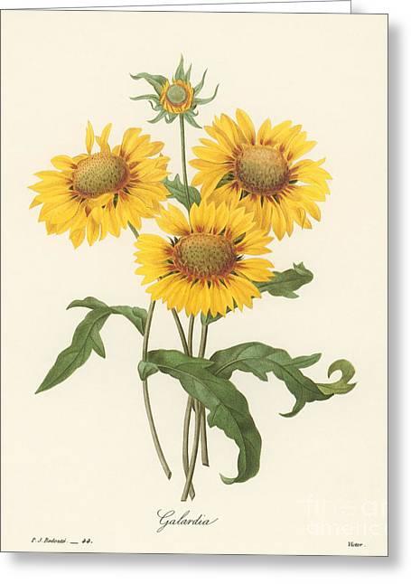 Choix Des Plus Belles Fleurs Greeting Cards - Galardia Greeting Card by Granger