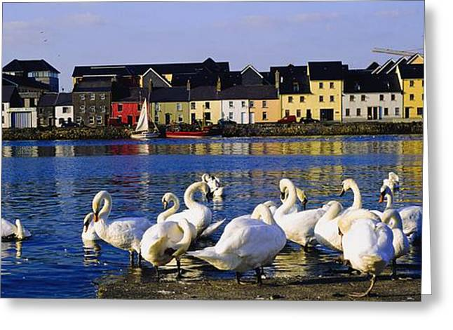 Swans... Greeting Cards - Galway City, County Galway, Ireland Greeting Card by The Irish Image Collection