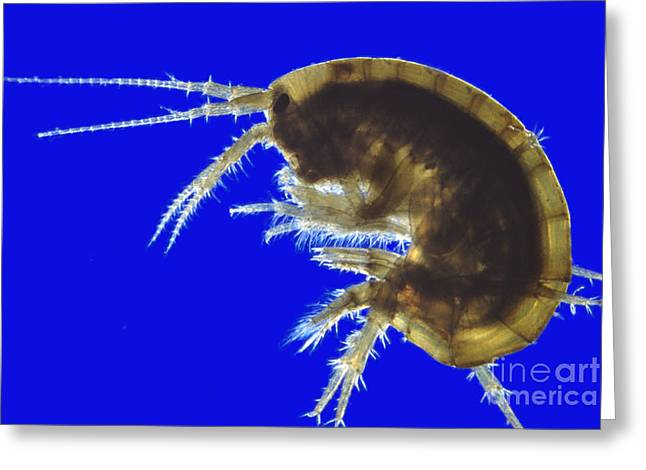 Light Magnifications Greeting Cards - Gammarus Greeting Card by M. I. Walker