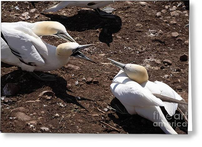 Morus Bassanus Greeting Cards - Gannet Birds Fighting Greeting Card by Ted Kinsman