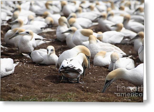 Morus Bassanus Greeting Cards - Gannet Birds Showing Meeting Behavior Greeting Card by Ted Kinsman