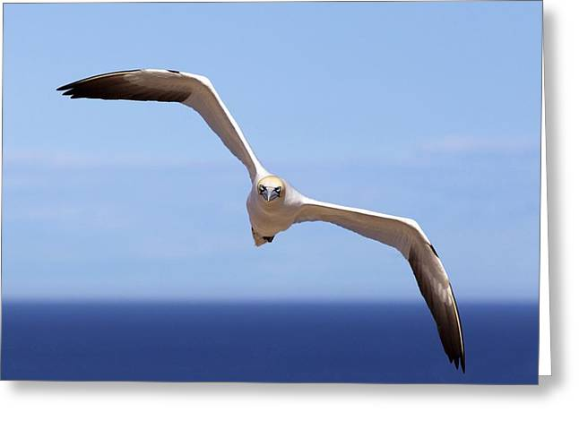 Sea Birds Greeting Cards - Gannet Flying Over The Water Perce Greeting Card by Richard Wear