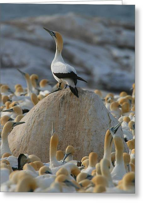 Gannet Greeting Cards - Gannet Kingdom Greeting Card by Bruce J Robinson