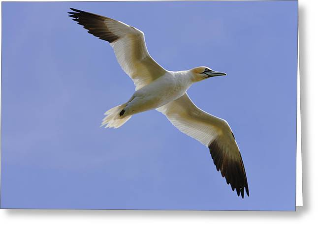 Ecologic Greeting Cards - Gannet Morus Bassanus In Flight, Cape Greeting Card by Yves Marcoux