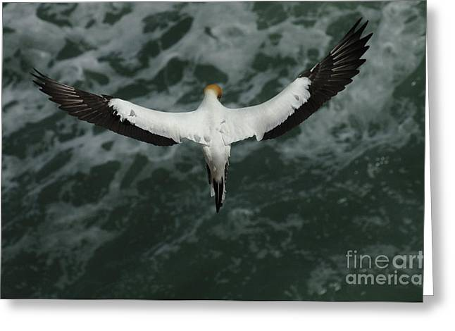 Gannet Greeting Cards - Gannet New Zealand 3 Greeting Card by Bob Christopher