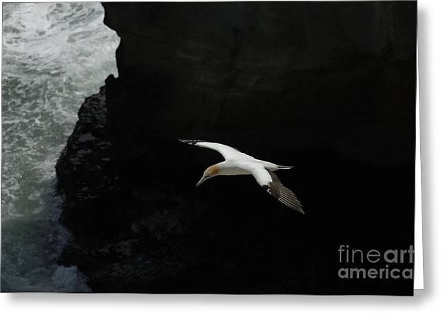 Gannet Greeting Cards - Gannet New Zealand 4 Greeting Card by Bob Christopher